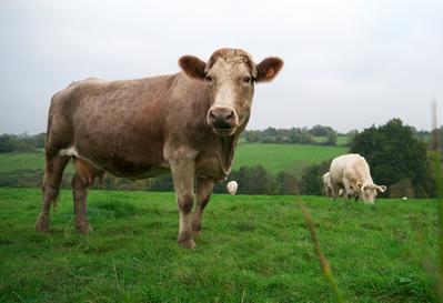 Cows cheeseburgers zits