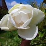 Magnolia_large
