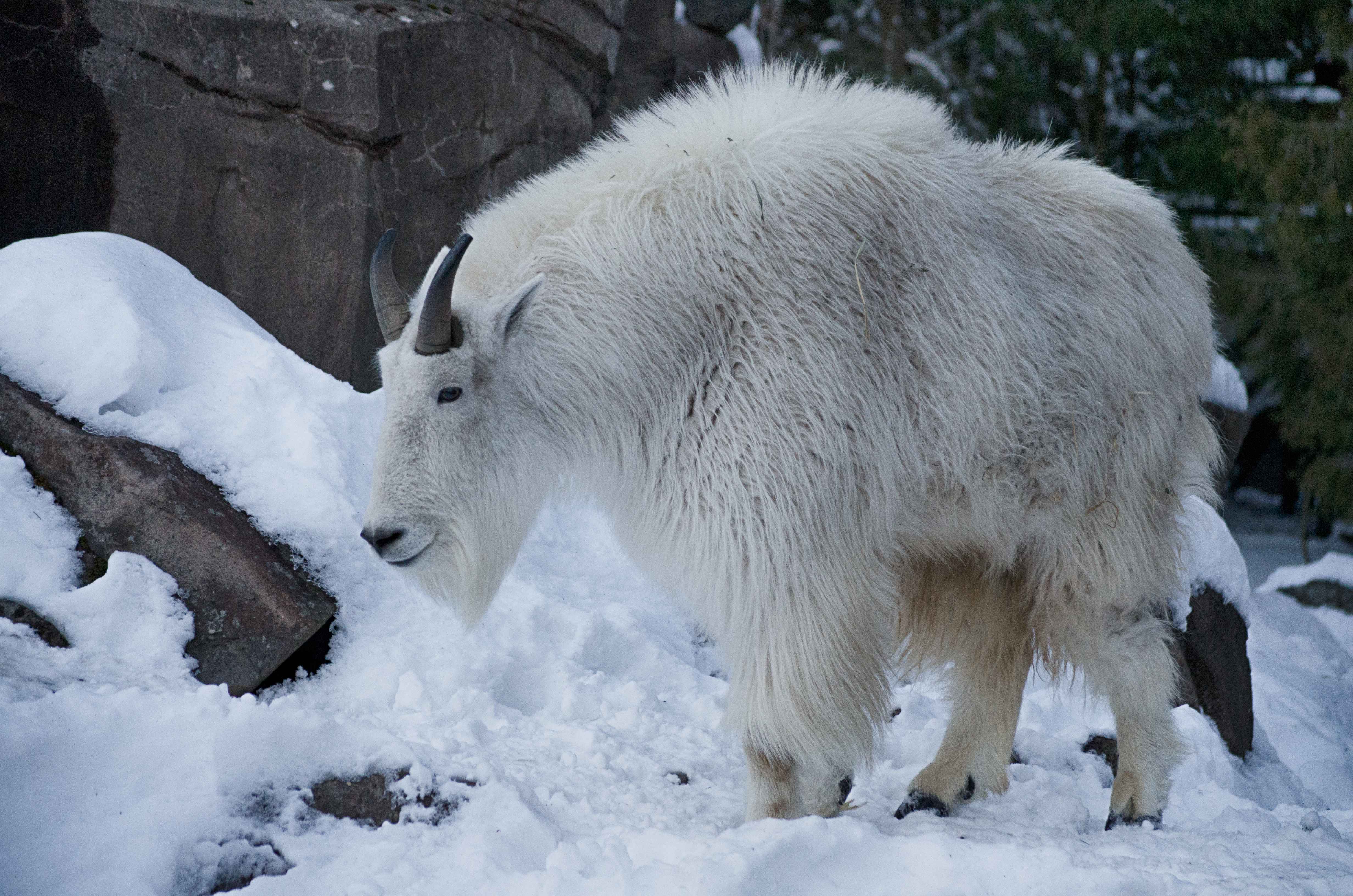 Mountain goat smiling in snow