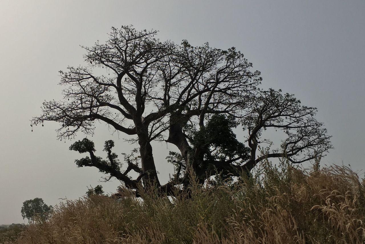 Baobab_large