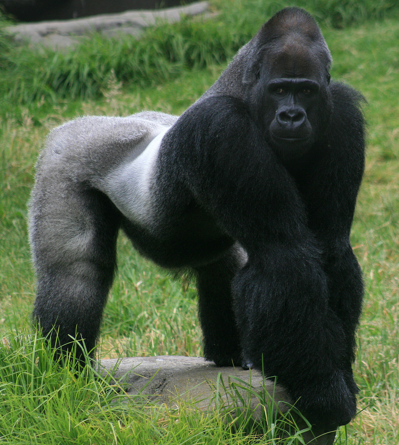 Male_gorilla_in_sf_zoo_large
