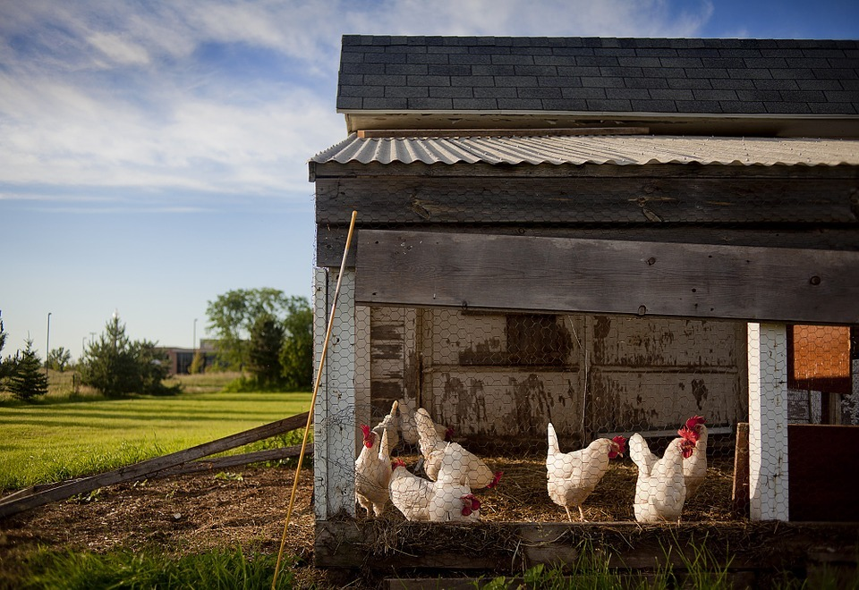 Chicken-coop-343942_960_720_large