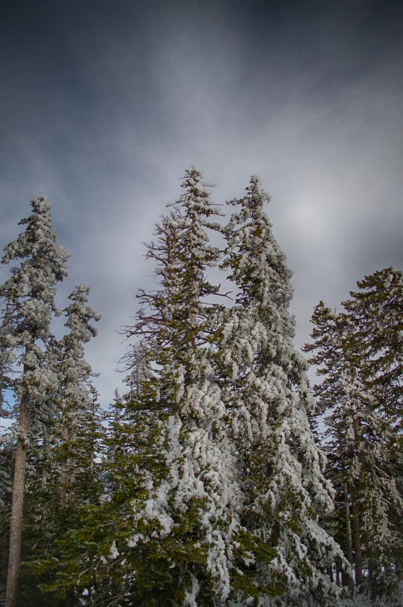 Frozen trees