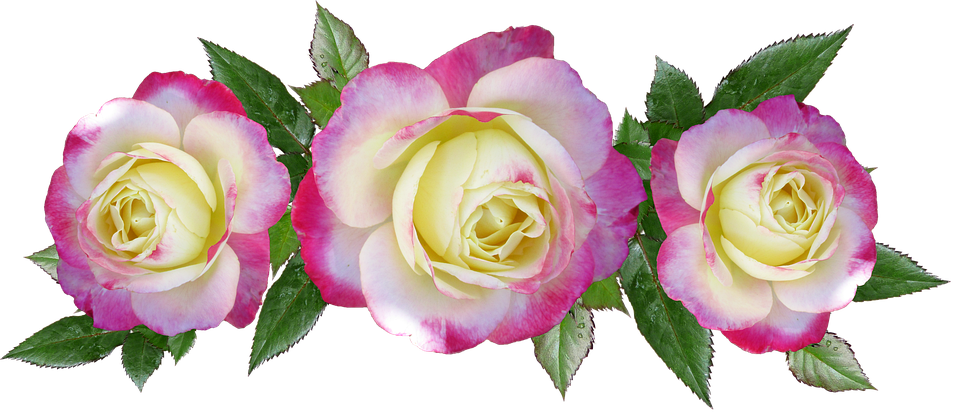 Delight%20rose_large